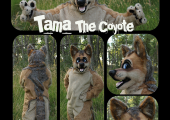 tama-the-coyote