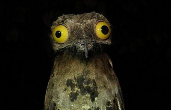 Menagerie Workshop makes a potoo